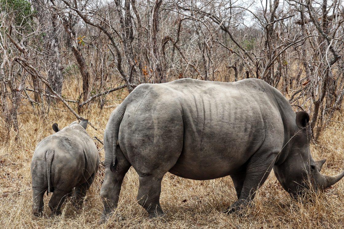 Los Rinocerontes están a punto de extinción