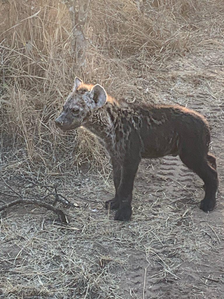 Las hienas tienen mala fama en las películas, pero en la vida real son hermosas.