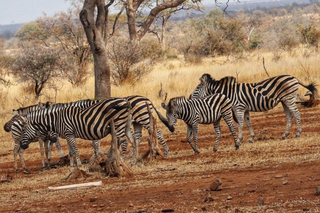 las Cebras son negras con blanco o blanco con negro?